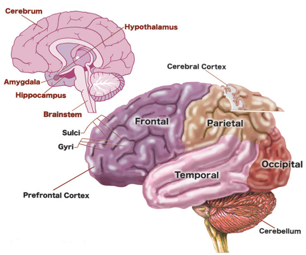 FIGURE 1: The Human Brain; Source: Adapted from www.educarer.org, 2006