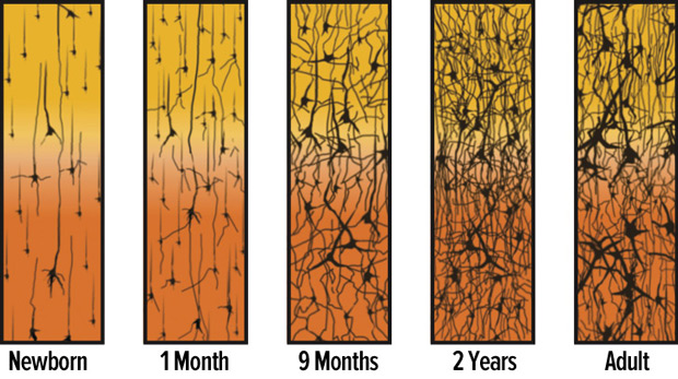figure 3 synapse density over time source adapted from corel jl